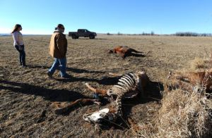 Remains of dead horses, some decapitated, found in Lodge Grass, Montana. Billings Gazette image.